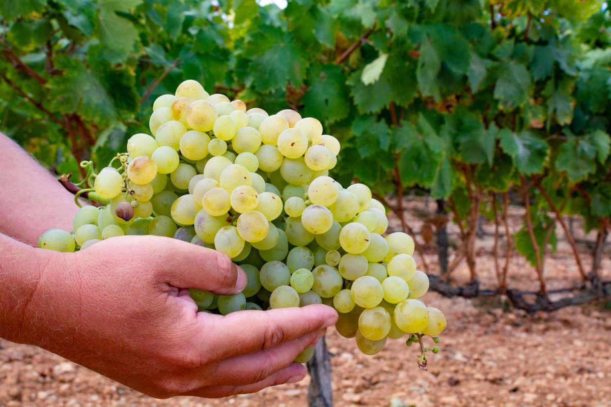 Uvas usadas na produção do vinho de Montilla, na Andaluzia