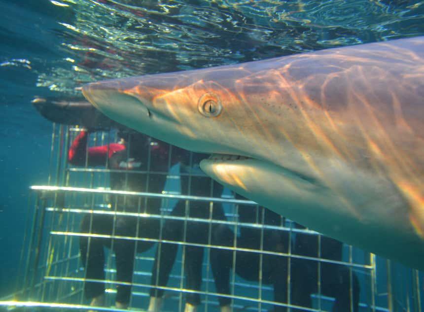 Tubarão selvagem passando diante de uma jaula com pessoas
