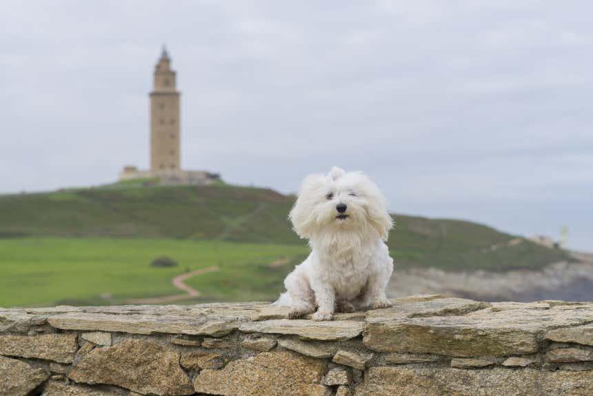 Perro con la Torre de Hércules al fondo, en La Coruña, Galicia.