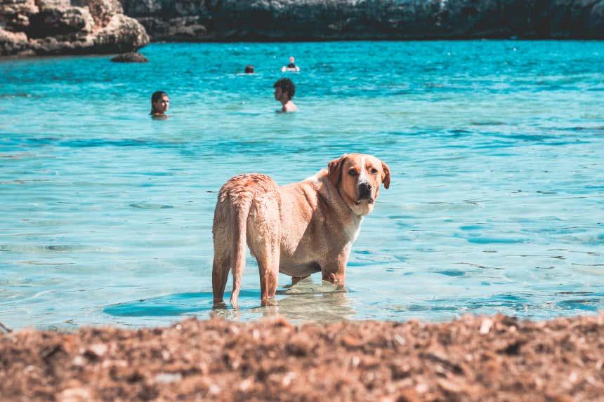 Perro bañándose en una cala de agua turquesa en Mallorca.