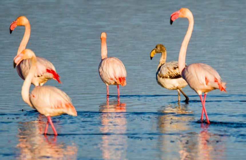 Cinco flamencos sobre las aguas de un humedal en el Delta del Ebro.