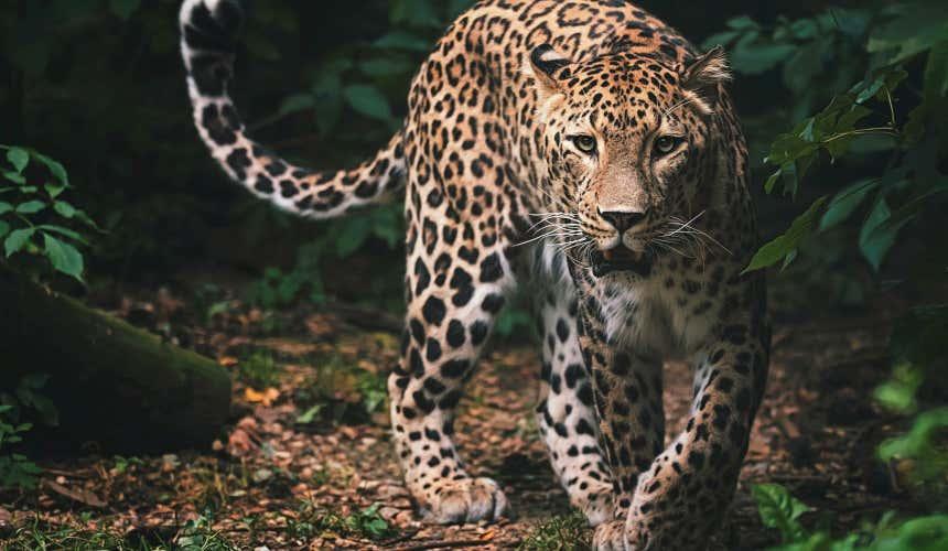 Leopardo de Terra Natura