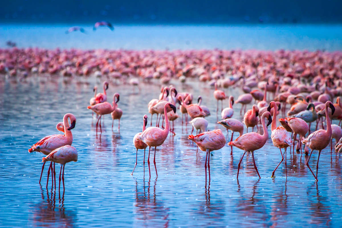 Flamingo rosas no Lago Nakuru