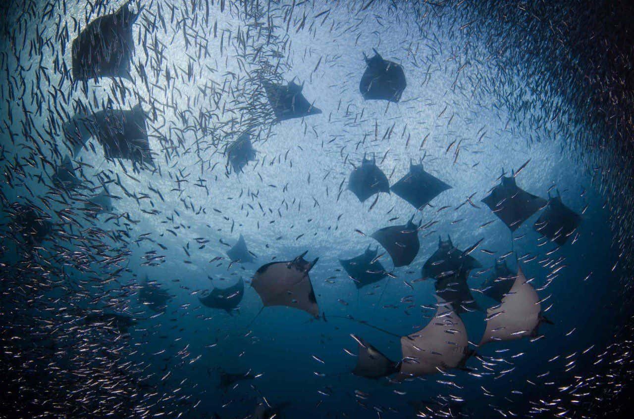 Mantarrayas nadando en las aguas de Raka Ampat, en Indonesia