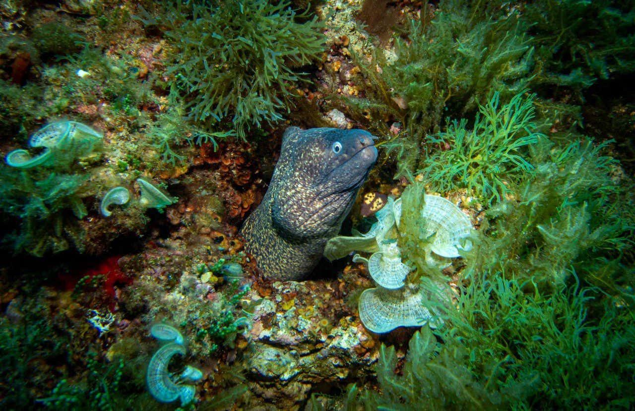 Morena entre las rocas en las islas Hormigas en Murcia