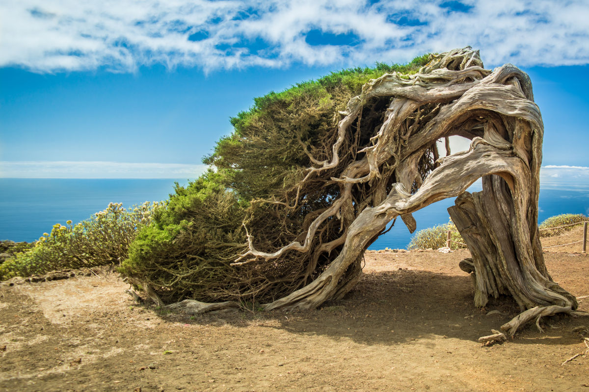 Un sabinar azotado por el viento en las cumbres de la isla de El Hierro, en un día prácticamente despejado con cielos azules y mar en calma en Canarias.