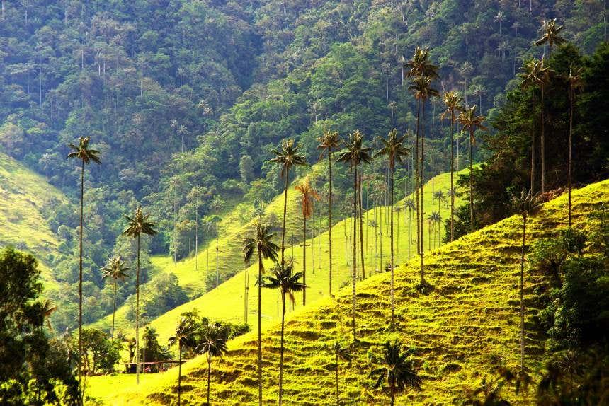 Palmas de cera en el Valle del Cocora.