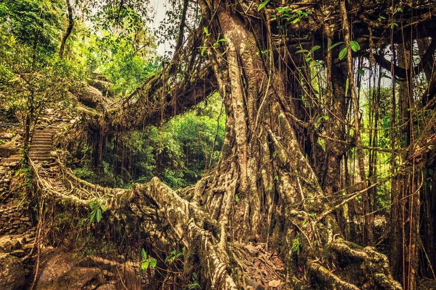 Puentes de raíces en Cherrapunji