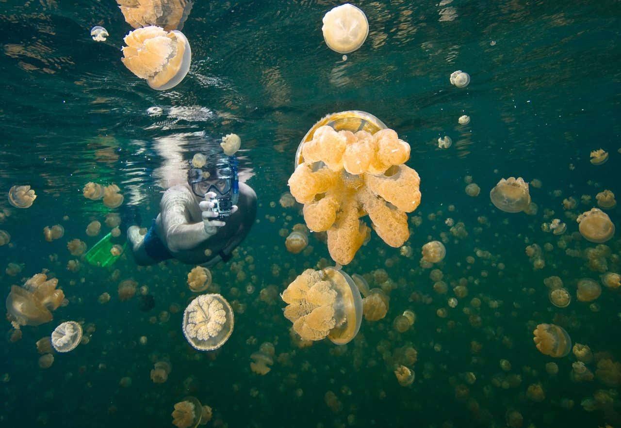 Hombre buceando mientras toma un foto en el Lago de las Medusas en Palaos