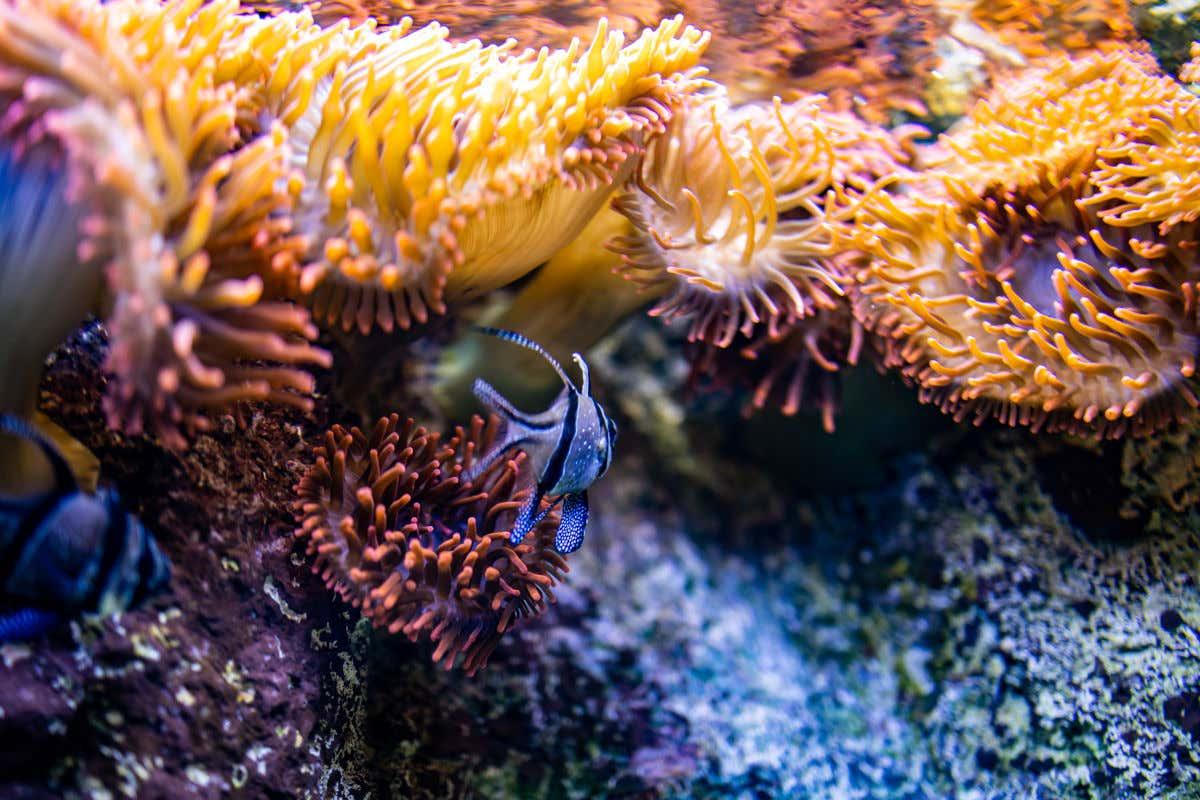 Un pez nadando entre corales de tonos rosáceos y amarillos en los estanques del Acuario de Zaragoza.